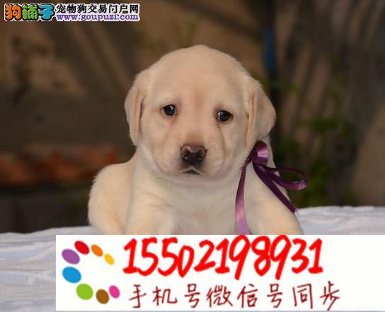 出售纯种的聪明的拉布拉多幼犬品相好头版好¥@