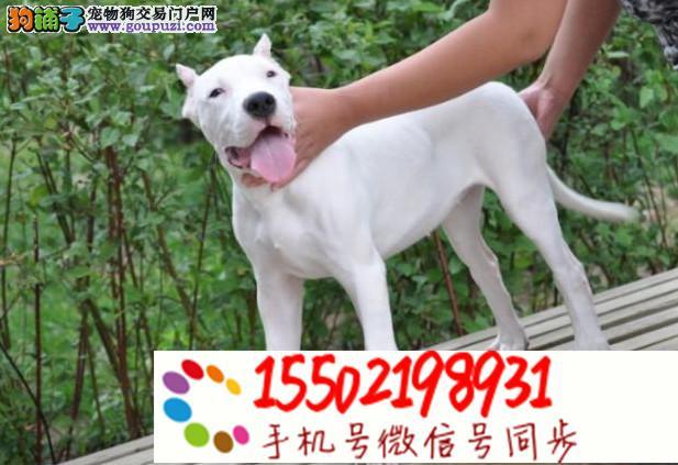 出售纯种杜高幼犬赛级杜高犬 已做疫苗驱虫 %er