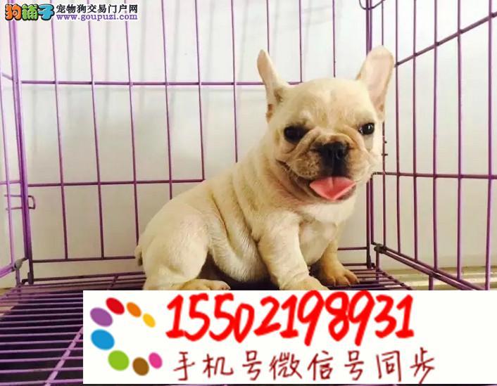 犬舍出售中型犬 法牛,英牛,柯基 雪纳瑞#@%