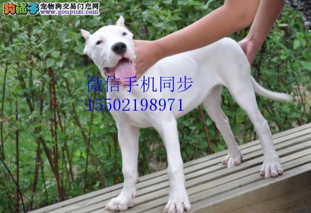 + 基地出售纯种杜高杜高幼犬赛级杜高犬 已做疫苗驱虫