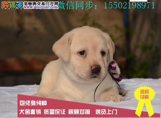 + 出售纯种的聪明的拉布拉多幼犬品相好头版好 健康