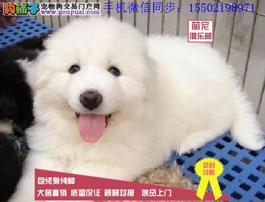 + 纯血统繁殖超大骨量赛级双冠大白熊幼犬出售健康签质