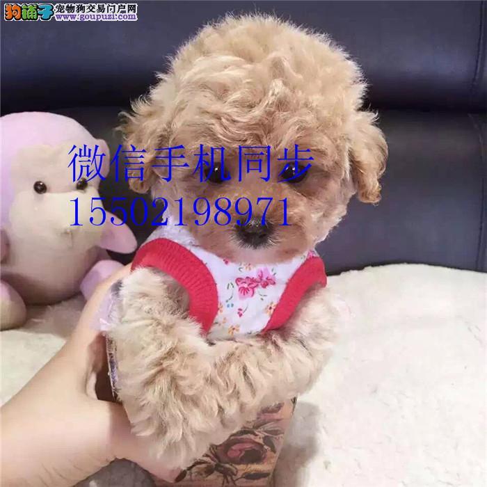 家养出售贵泰迪 柯基 比熊 吉娃娃等幼犬+9