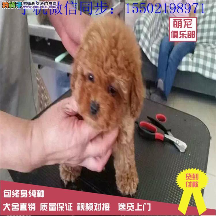 出售贵泰迪 金毛 博美 哈士奇 比熊等名犬幼犬数只+9
