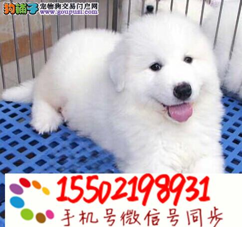 纯血统超大骨量赛级双冠大白熊幼犬出售健康签质!@