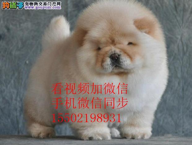 极品松狮幼犬,很憨厚,很可爱,毛茸茸, 多只可选~