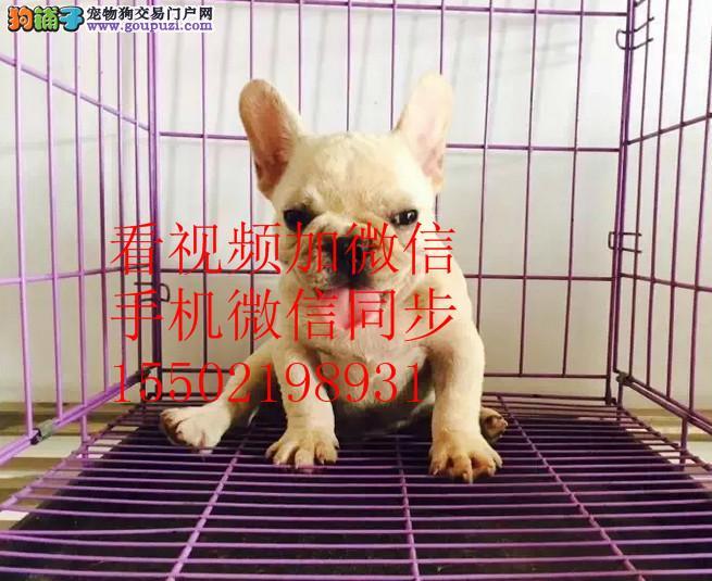 CKU认证赛级犬短毛法国斗牛 伴侣犬