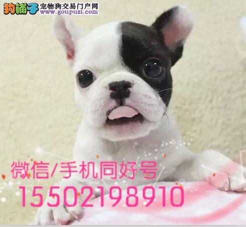 犬舍出售中型犬 法牛金牌犬舍咔
