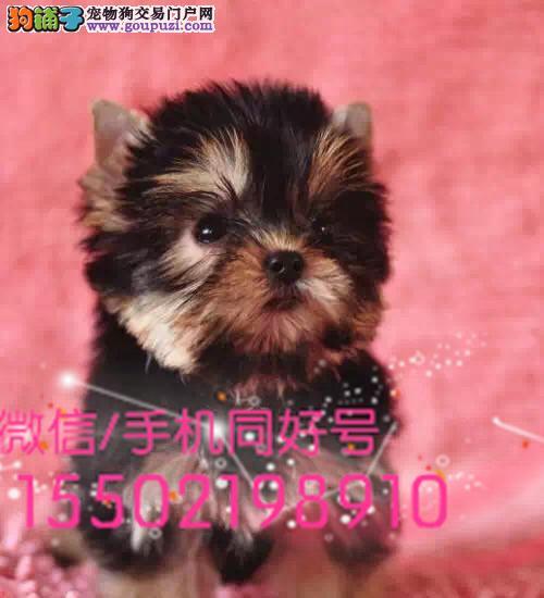 高贵约克夏幼犬出售金牌犬舍咔