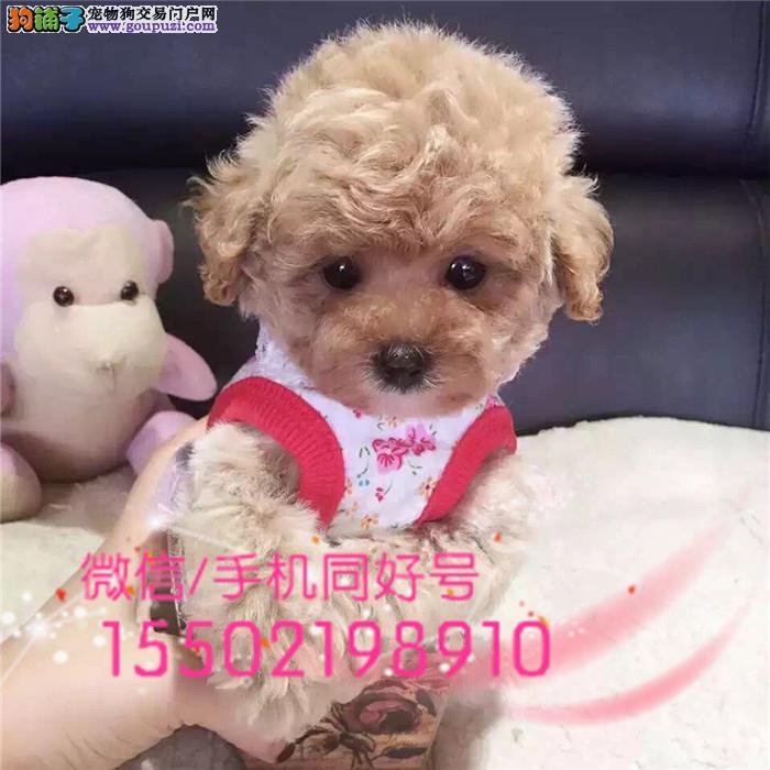 犬舍精品出售贵泰迪 金牌犬舍咔