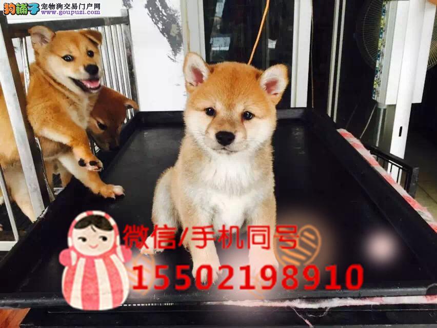 日本进口柴犬专卖哇咔咔犬舍
