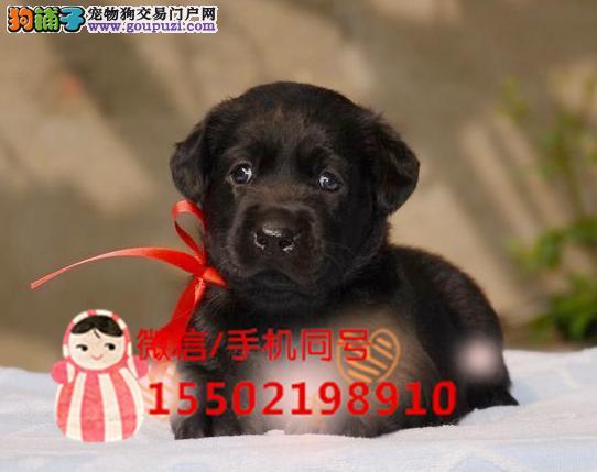 出售纯种的聪明的拉布拉多幼犬哇咔咔犬舍