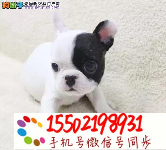 犬舍出售中型犬 法牛,英牛,柯基,巴哥,雪纳瑞#hn