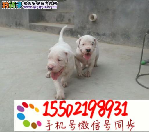 基地出售纯种杜高杜高幼犬 已做疫苗驱虫 #%