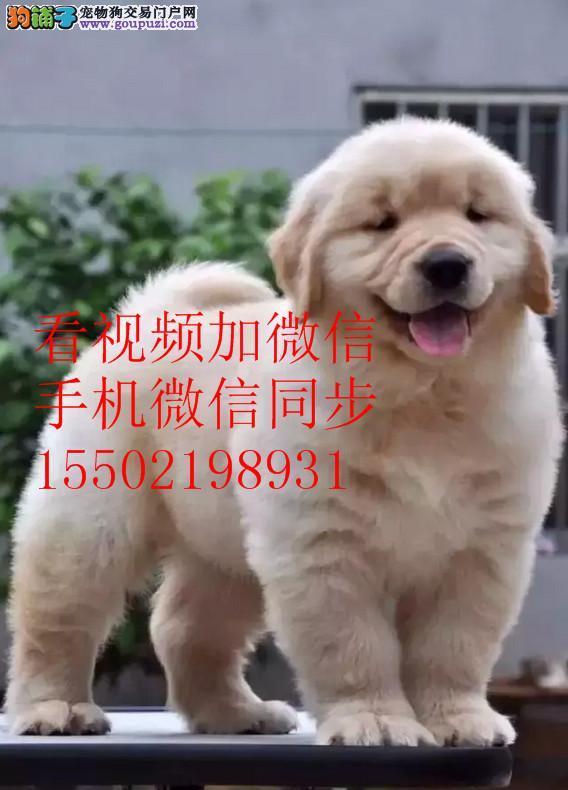 直销 金毛纯种幼犬疫苗齐全.