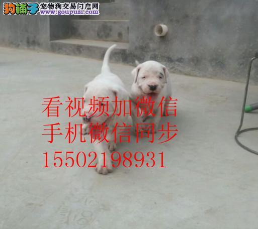 森林捕猎小能手赛级杜高犬已做疫苗驱虫 ~