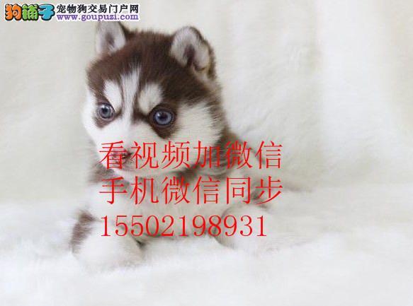 犬舍出售哈士奇金毛 博美 阿拉斯加等名犬