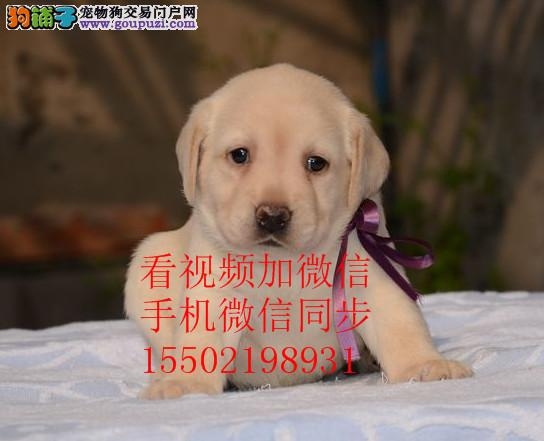 出售纯种的聪明的拉布拉多幼犬品相好头版好 健康..
