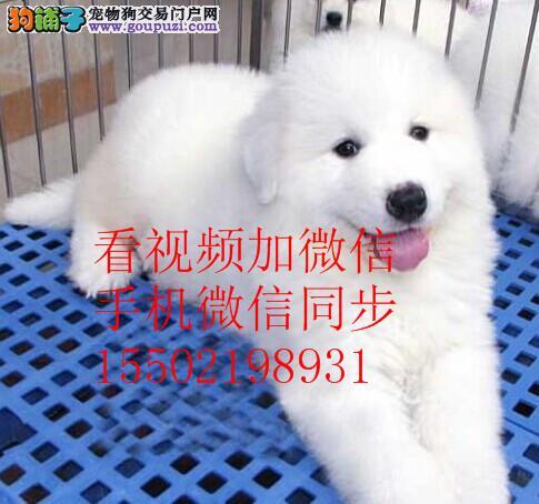 纯血统繁殖超大骨量赛级双冠大白熊幼犬出售健康签质22