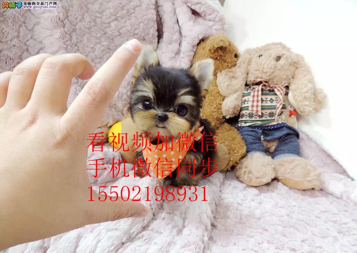 高贵约克夏幼犬出售、健康质保、疫苗齐全公母可选 02