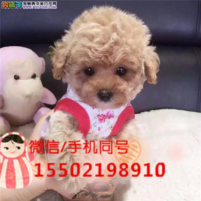 犬舍出售精品泰迪