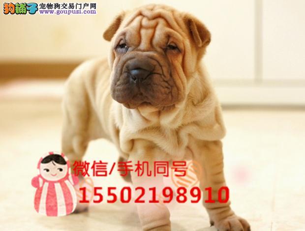 犬舍出售纯种沙皮幼犬