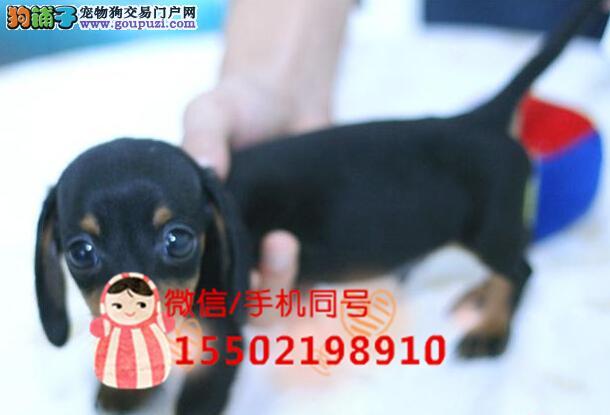 犬舍出售出售腊肠犬棕色、铁包金色均有疫苗已做齐全