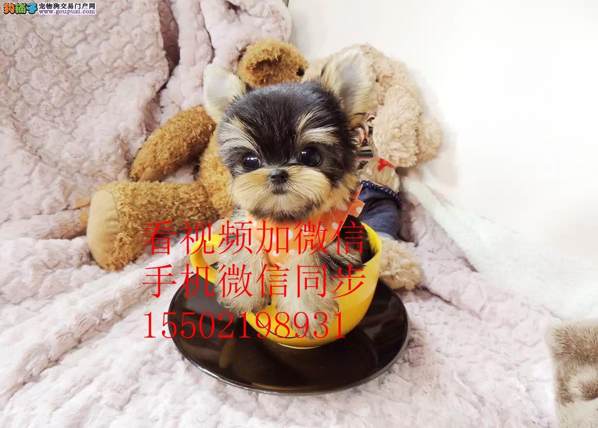 高贵约克夏幼犬出售、健康质保、疫苗齐全、公母可选r