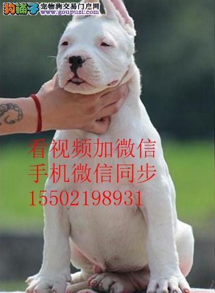 基地出售纯种杜高杜高幼犬赛级杜高犬 已做疫苗驱虫 45