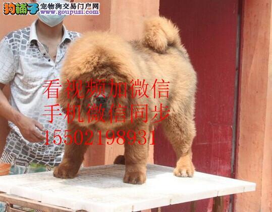 大狮头长毛藏獒高品质 薪火怪兽标准牛系保纯保健康hy