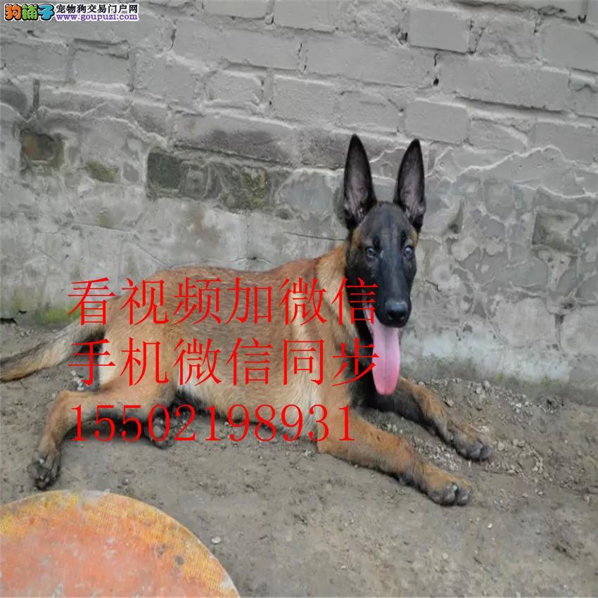 出售纯种比利时马犬、兴奋度高、警觉性强、动作灵敏0