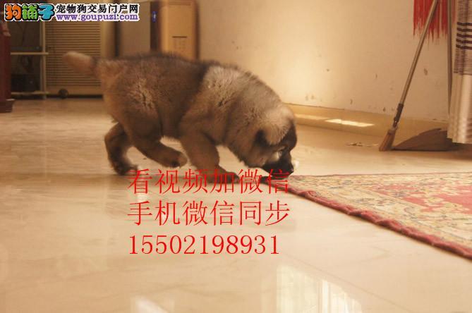 出售纯种大头版大骨架好毛量高加索幼犬多只选择 、