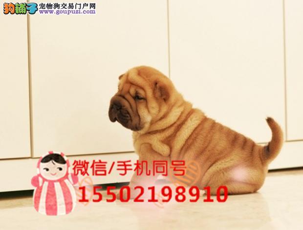犬舍出售沙皮幼犬纯种正品