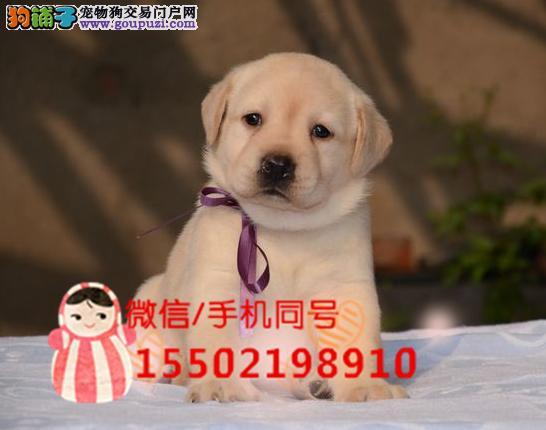 犬舍出售拉布拉多幼犬火爆开售