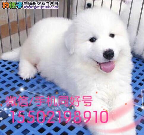 出售健康签纯血统繁殖超大骨量赛级双冠大白熊幼犬质