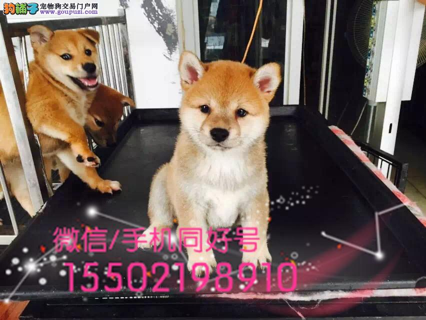 日本进口柴犬专卖性格活泼、好动