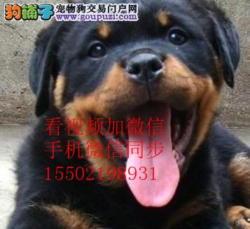 猛犬罗威纳幼犬出售、大头宽嘴吧、公母可选、疫苗齐/*