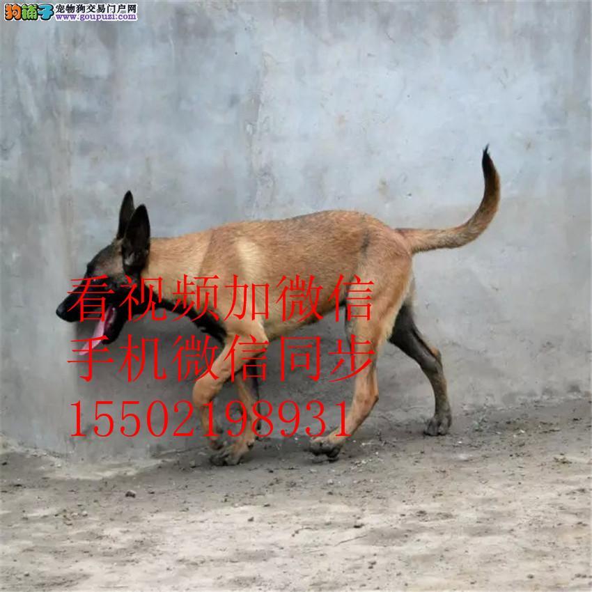 出售纯种比利时马犬、兴奋度高、警觉性强、动作灵敏~