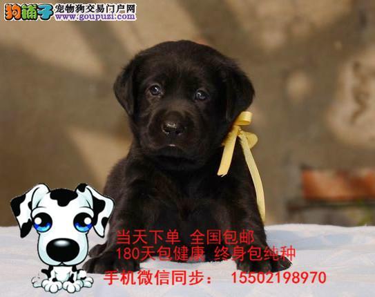 犬舍出售 纯种精品 拉布拉多