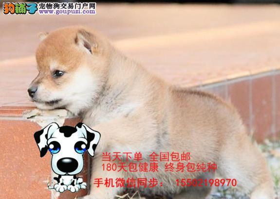 犬舍出售 纯种精品柴犬