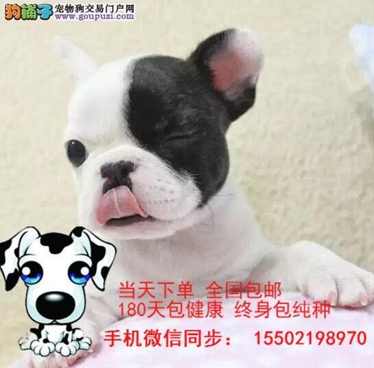 犬舍出售 纯种精品 雪纳瑞