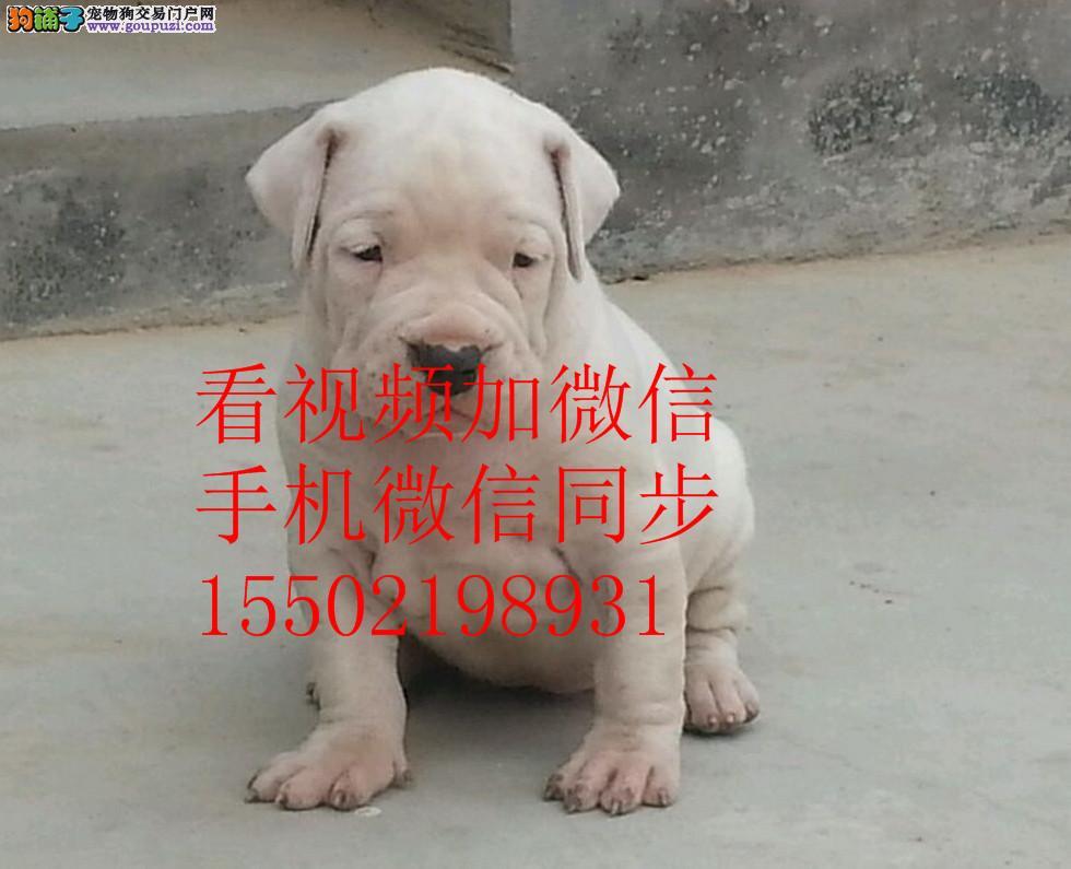 基地出售纯种杜高杜高幼犬赛级杜高犬 已做疫苗驱虫 $