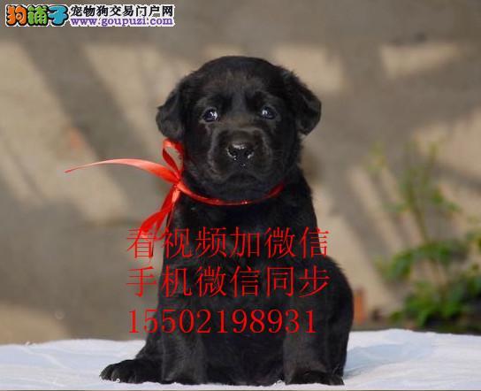 CKU认证赛级犬,品相好拉布拉多犬宠物狗纯种幼犬er