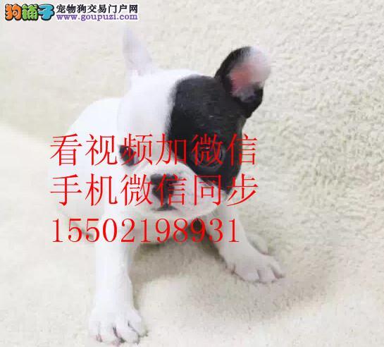 CKU认证赛级犬短毛法国斗牛 伴侣犬 纯种法斗幼犬@e