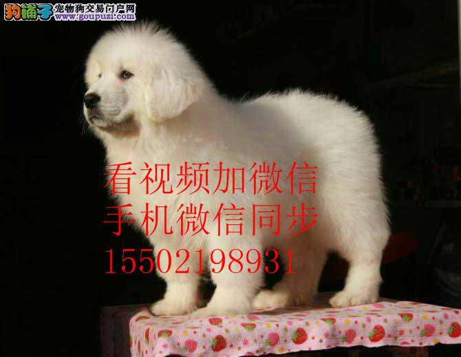 纯血统繁殖超大骨量赛级双冠大白熊幼犬出售健康签质,
