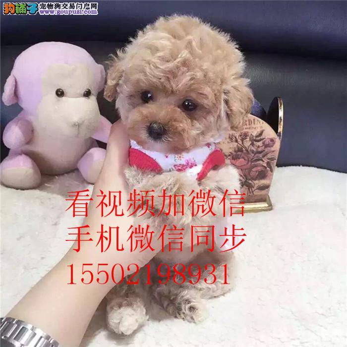 1 家养出售贵泰迪 金毛 博美 哈士奇 比熊等名犬