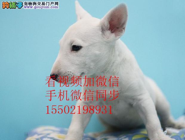 26超强血统牛头梗 实物图片 纯国外血系贵族名犬繁育