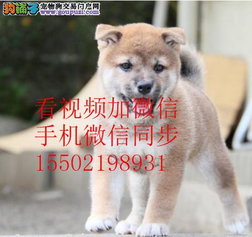 热销纯种柴犬幼犬疫苗齐全 保纯正保健康