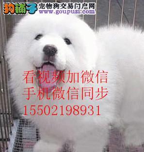 纯血统繁殖超大骨赛级双冠大白熊幼犬出售健康签质#¥