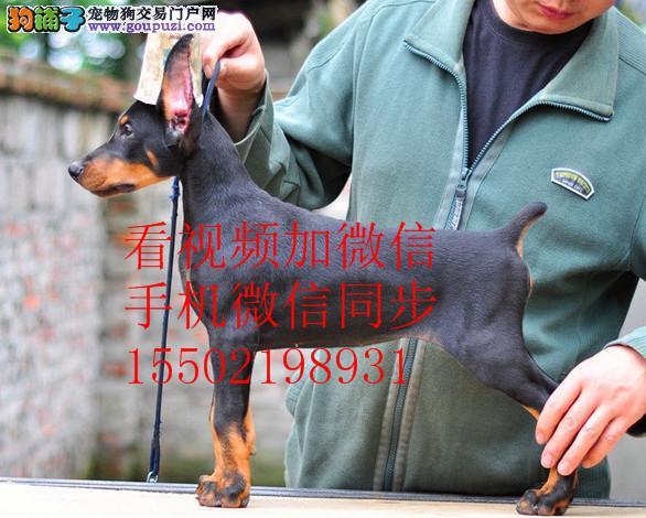 高品质德系杜宾幼犬出售 、头版正骨量大 色素^